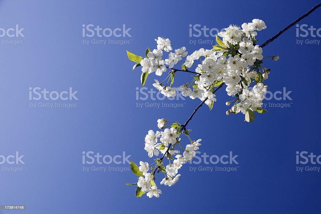 Cherry branch blossom stock photo