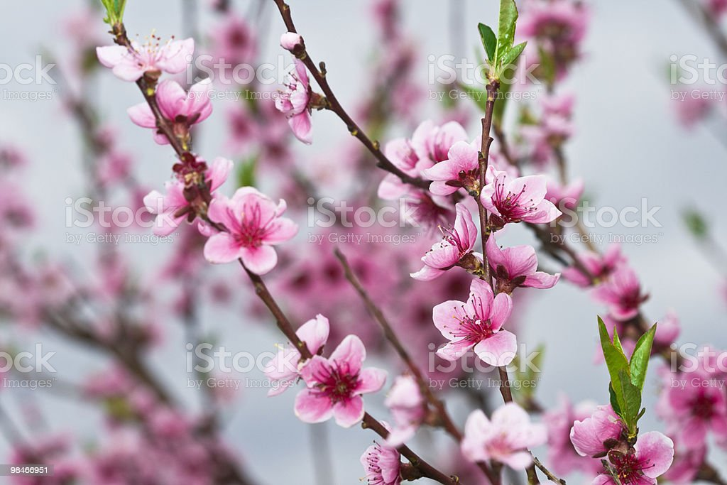 Cherry branch royalty-free stock photo