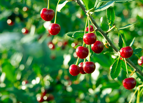Cherry branch. Red ripe berries on the cherry tree. Crop time. Harvesting season