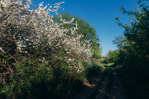 cherry branch with white flowers blooming in early spring in the garden. the rural road runs up