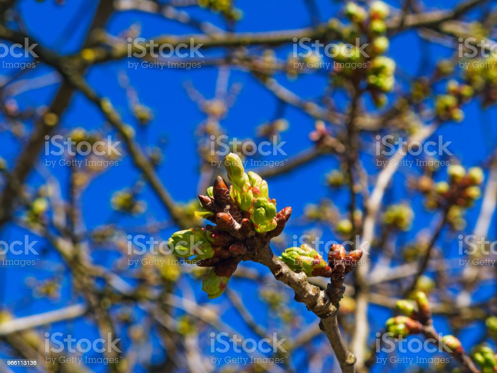 Cherry buds - Royalty-free Agriculture Stock Photo