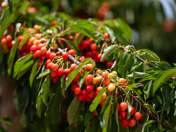 Cherry Cherry Branch, Sour Cherry, Sultani Cherry Garden From Turkey stock photo