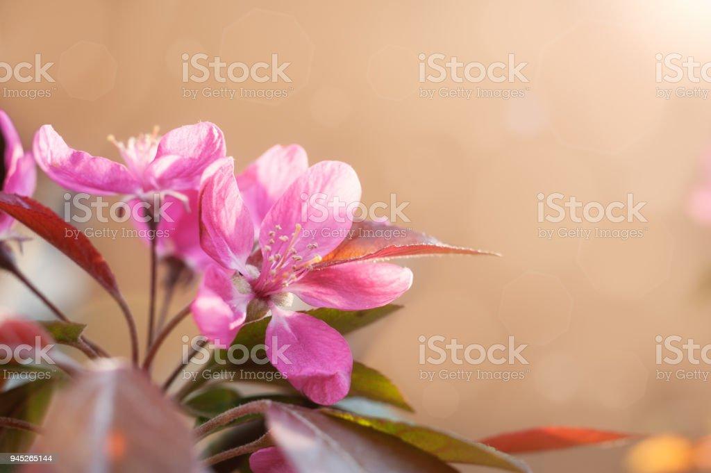 Cherry flower bud stock photo