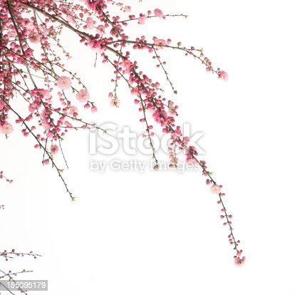 Cherry blossom flower isolated on white background
