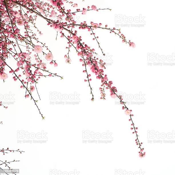 Photo of Cherry  flower