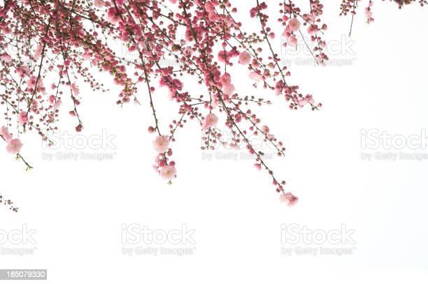 Cherry flower picture id185079330?b=1&k=6&m=185079330&s=612x612&h=nhpp9yrj3bj spbfcpv x8xfnrf8exjw8jg0zzhwngc=