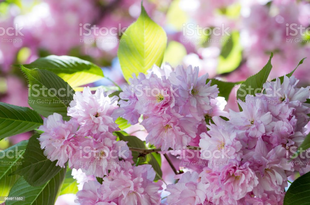 cherry flower royalty-free stock photo
