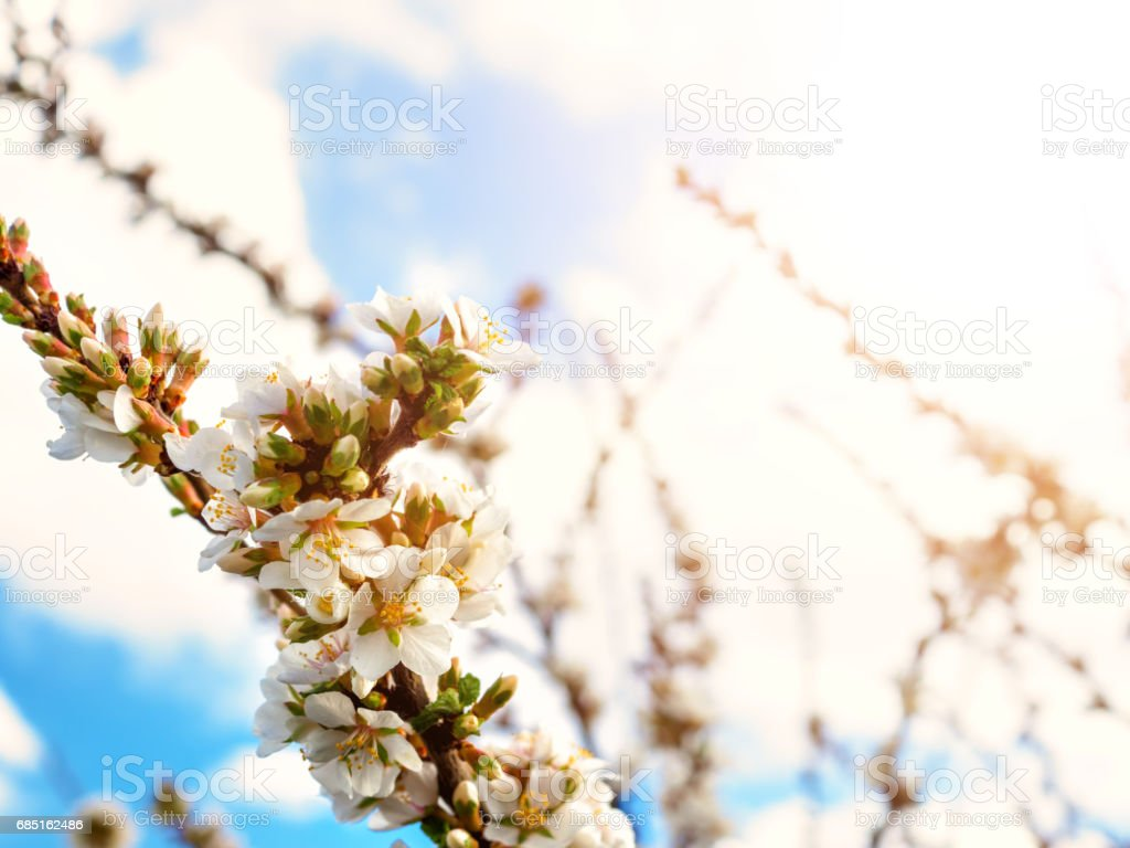Cherry flowers blossom oriental white against  background  blue sky with sunshine beams  macro shot. foto de stock royalty-free