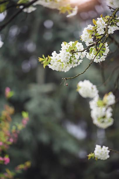 cherry flowers frame - paysage mois de mars photos et images de collection