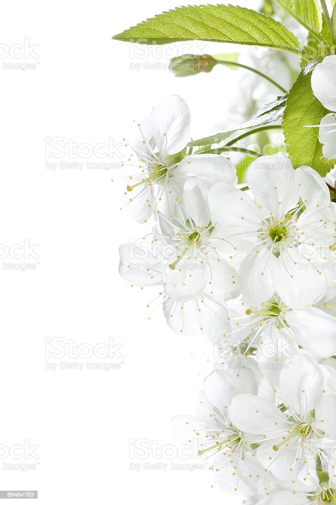 Cherry flowers high-key royalty-free stock photo