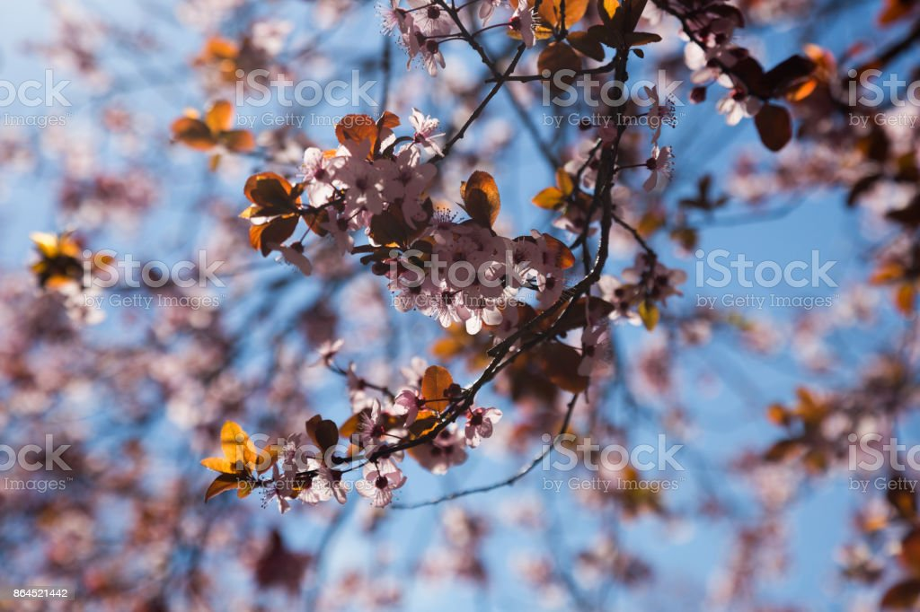 Cherry flowers in blue sky stock photo