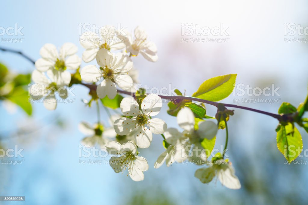 Cherry flowers in spring sunny day stock photo