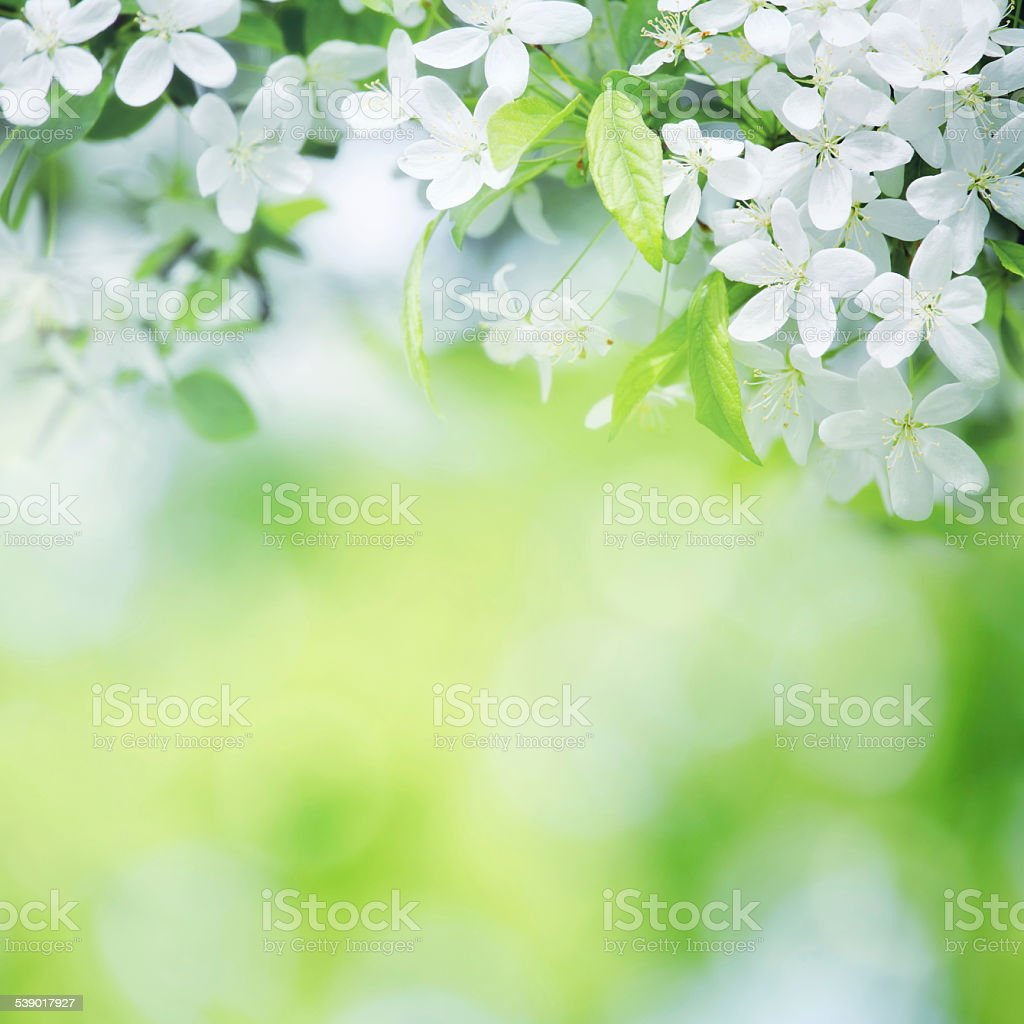 cherry flowers in sunny day on green stock photo