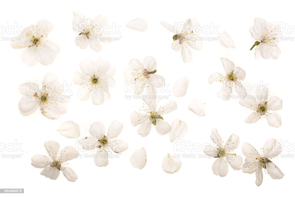 cherry flowers isolated on white background. Top view. Flat lay. Set or collection royalty-free stock photo