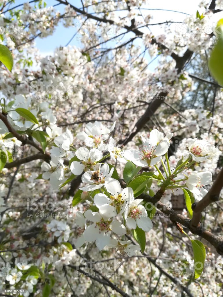 Cherry blossom in full bloom. Cherry flowers on a cherry tree branch....