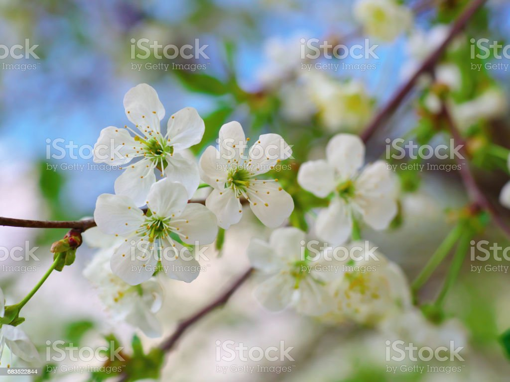 Cherry Flowers On Branch Tree At The Springtime In Sunny Day Blue