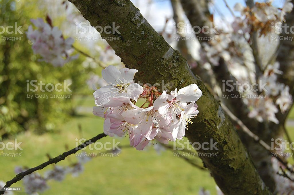 Cherry flowers royalty-free stock photo