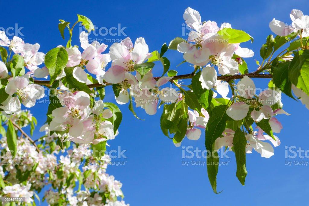 Cherry Fruit Tree Blossoms stock photo