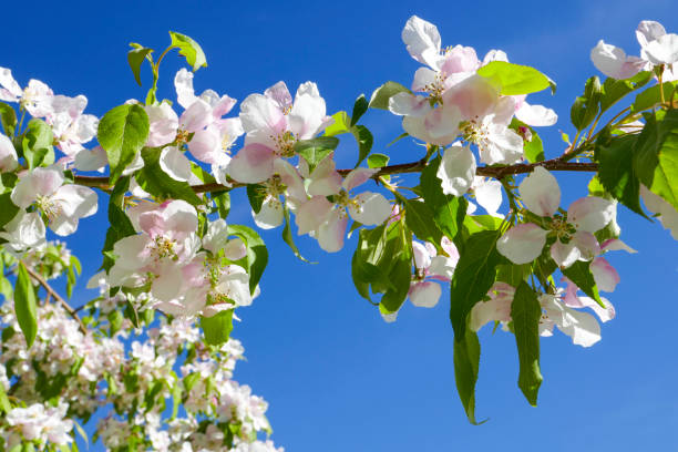 cherry fruit tree blossoms - spring stock photos and pictures