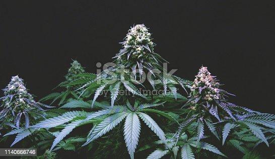 A cannabis flower.