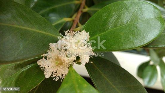 The blooming flowers of the Brazilian fruit Psidium cattleianum (Cattley guava, strawberry guava or cherry guava, Araçá (Arassah)).
