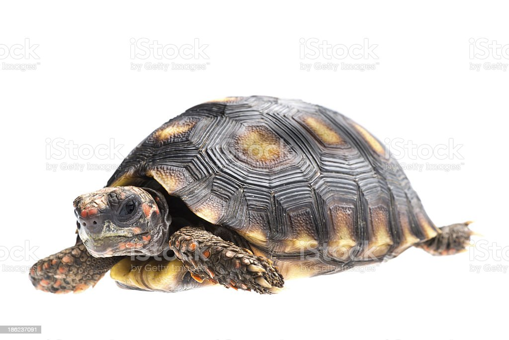 Cherry head red foot tortoise stock photo