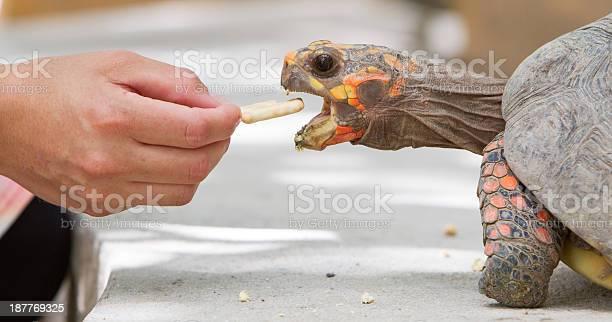 Cherry head red foot tortoise picture id187769325?b=1&k=6&m=187769325&s=612x612&h=tmf9szdwof kvvu49bjsv8ae0q1qjaezgooxsynbomg=