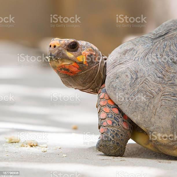 Cherry head red foot tortoise picture id187796908?b=1&k=6&m=187796908&s=612x612&h=tqxmyygicxqbheocijvdsmztpg3qnoce66cbxxlsg6g=