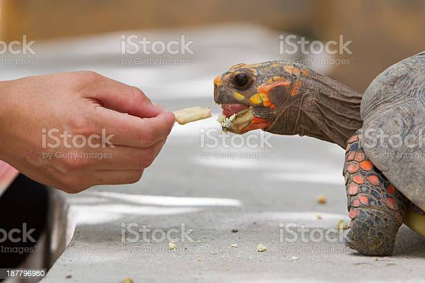 Cherry head red foot tortoise picture id187796980?b=1&k=6&m=187796980&s=612x612&h=0kneloovwdpaynvb6l4mylowbeeqfblhkkgr5 wfx50=