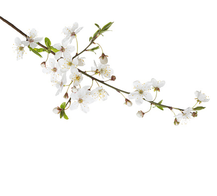 Cherry in blossom isolated on white.