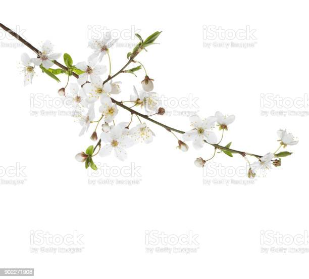 Cherry in blossom isolated on white picture id902271908?b=1&k=6&m=902271908&s=612x612&h=apq 0v0idmkn8nneyesqtkxt11fofbl3vn4yjkrbpda=