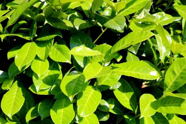 Kirschlorbeer, Detail, grüne Blätter im Sommer – Foto