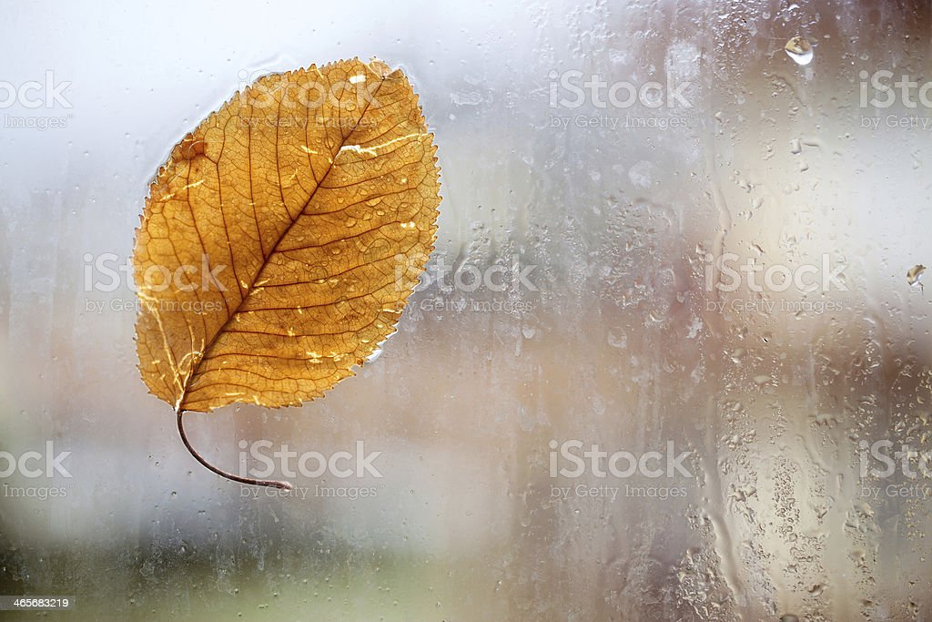 Cherry leaf and raindrops royalty-free stock photo
