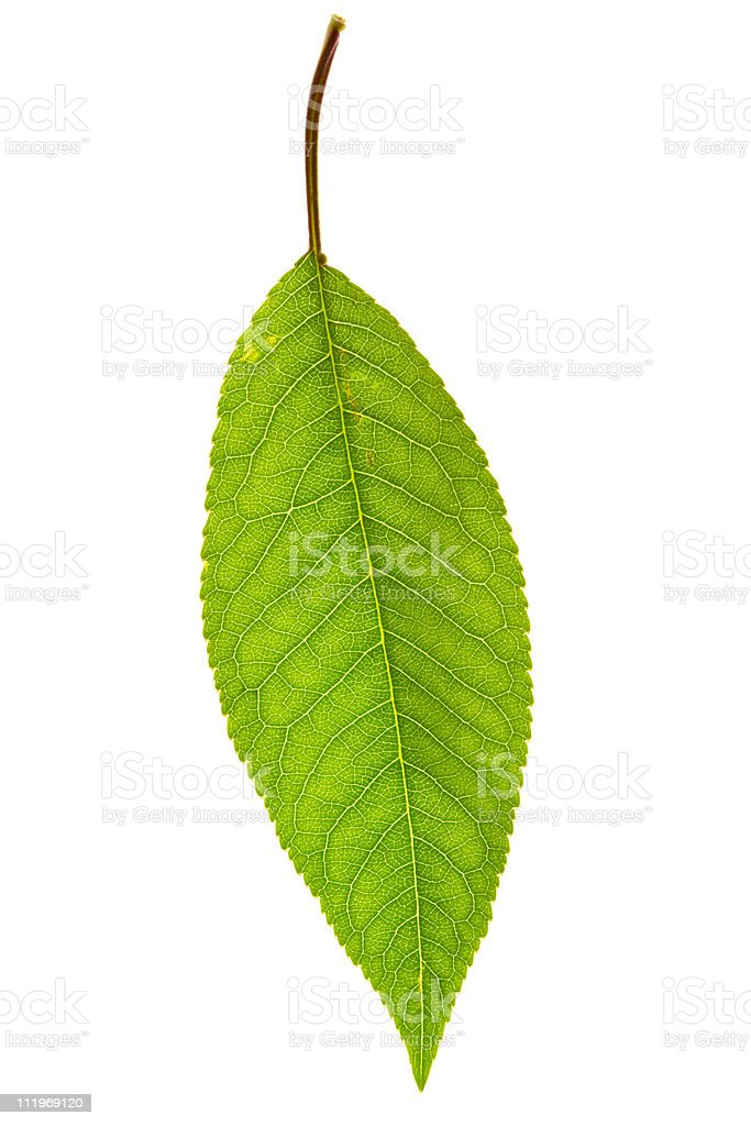 cherry leaf on isolated stock photo