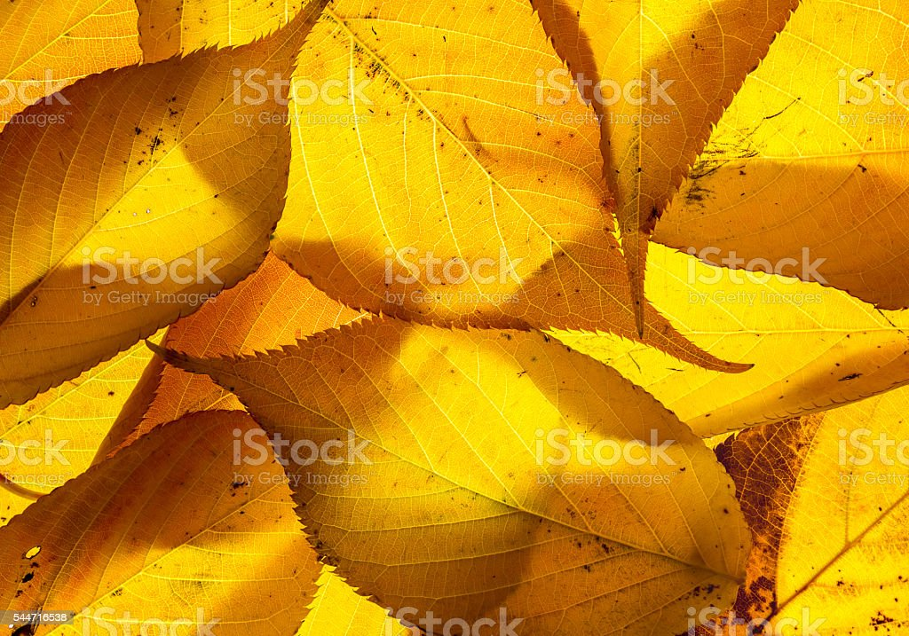 Cherry leaves backlit on a lightbox stock photo