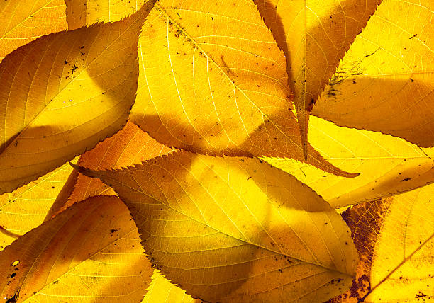 cherry leaves backlit on a lightbox - rikmcrae stock photos and pictures