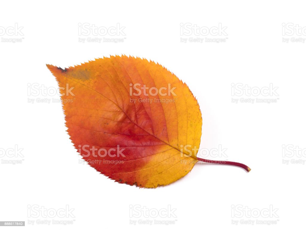 Cherry leaves colored red stock photo