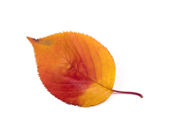 Cherry leaves colored red Cherry leaves colored red autumn leaf color stock pictures, royalty-free photos & images