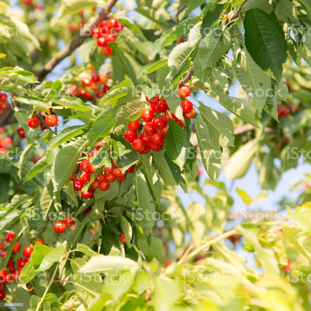 Cherry on a branch of tree. stock photo