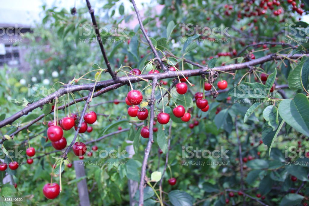 Cherry on a branch. stock photo
