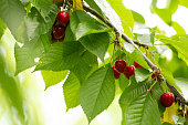 Cherry on the branch grows, ripened red cherry