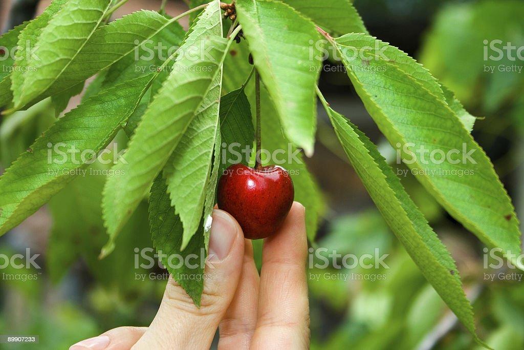 Cherry on the tree royalty-free stock photo