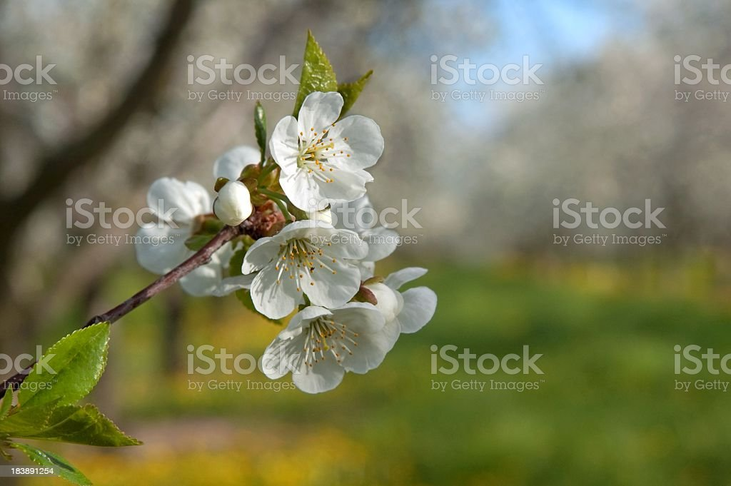 Cherry Orchard at Spring Blossom stock photo