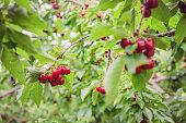 istock Cherry Orchard 1276353691