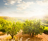 Cherry Orchard in Luberon (Provence, France)