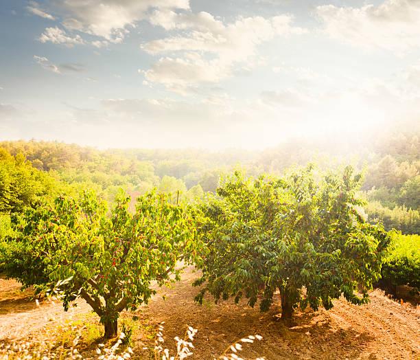 cherry orchard - streuobstwiese stock-fotos und bilder