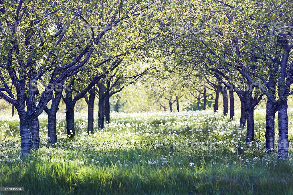 Cherry Orchard Rows stock photo