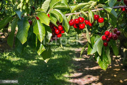istock cherry orchard with ripe Stella cherries hanging on tree branch 1296918943