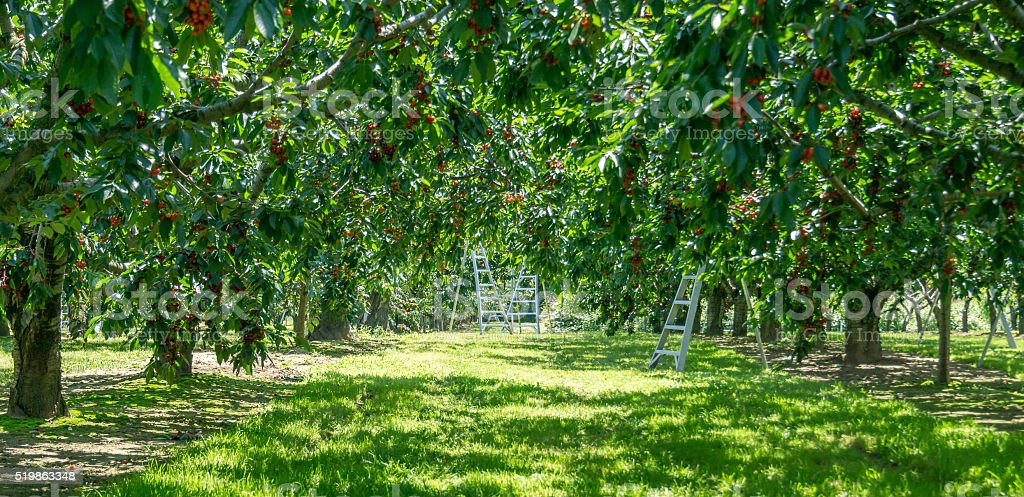 Cherry Orchard with Three Ladders stock photo