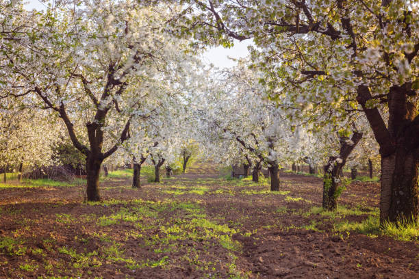 Cherry orchard with white cherry trees stock photo